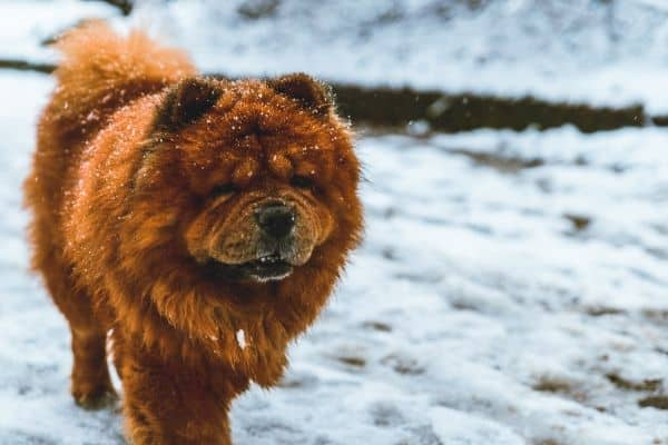 Chow Chow dog in the snow