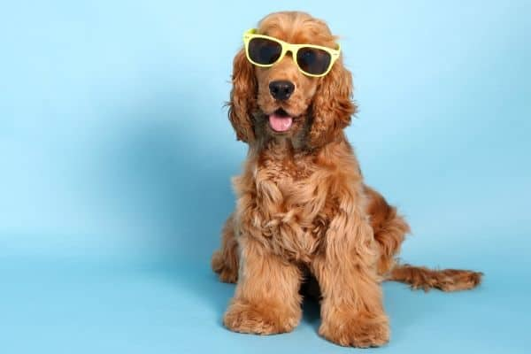 Cocker Spaniel wearing sun glasses