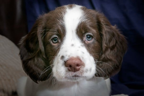Cocker Spaniel puppy with blue eyes