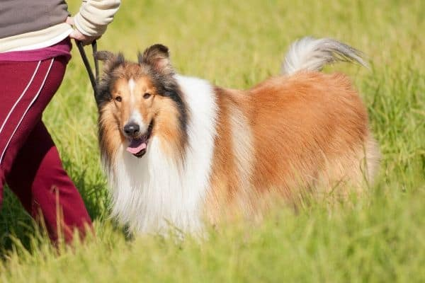 Collie in a field with owner
