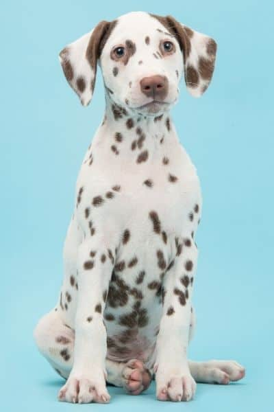 Dalmatian Puppy with light spots