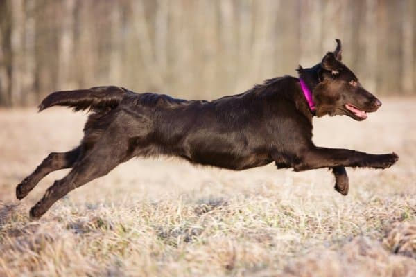 Flat-Coated Retriever in full sprint