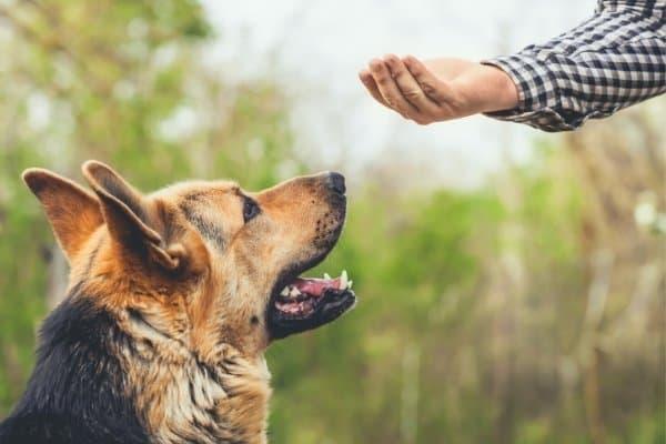 German Shepherd being trained