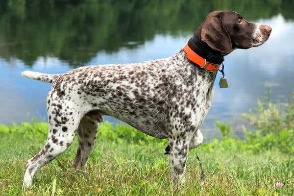 German Shorthaired Pointer pointing near river