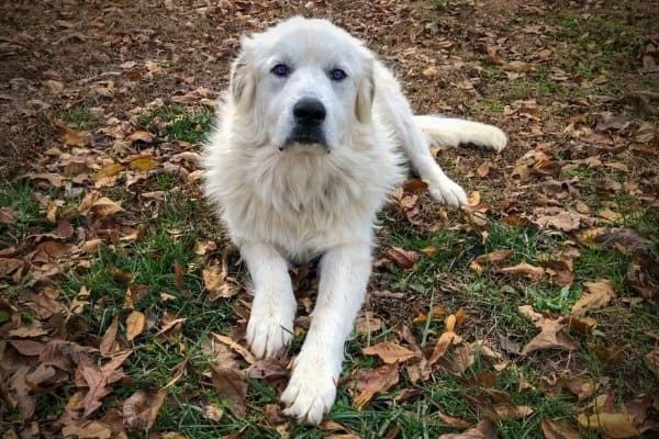 Great Pyrenees with Blue Eyes