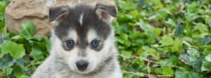 Pomsky puppy with blue eyes in garden