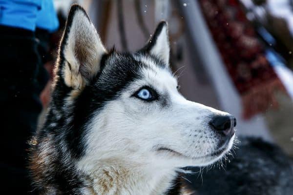Blue Eyed Siberian Husky outside in winter
