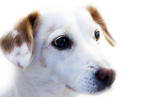 Jack Russell Terrier with spots on his ears