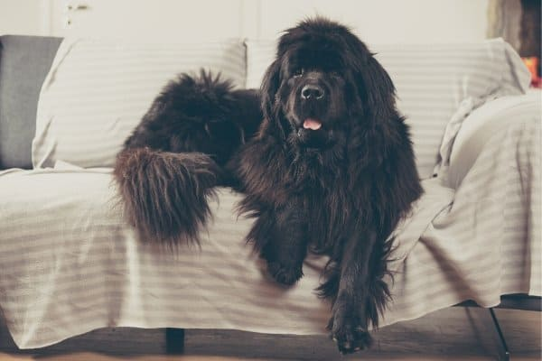 Newfoundland dog laying on couch