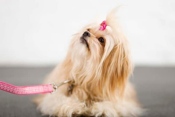 Pekingese with bow in hair