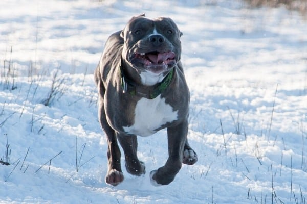 A Blue Nose Pit Bull running in snow
