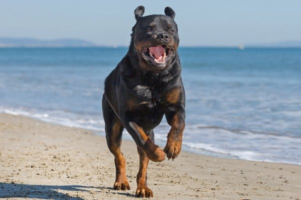 Rottweiler on Beach