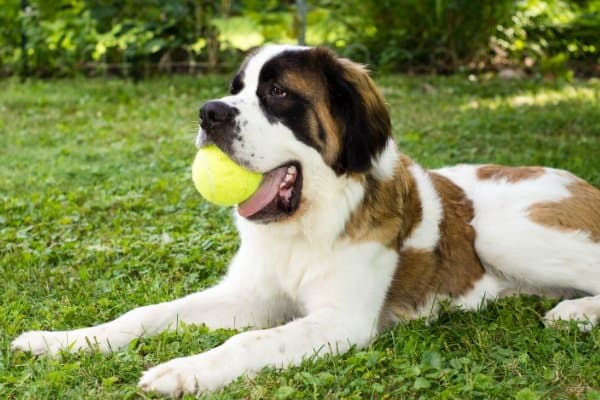 St. Bernard with ball in mouth