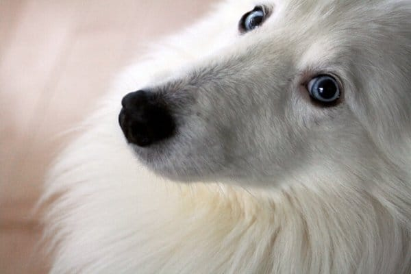 Shetland Sheepdog with Blue Eyes