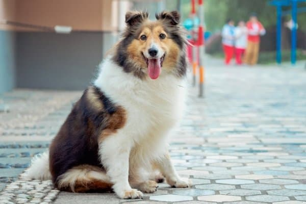 Shetland Sheepdog sitting downtown