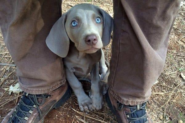 Weimaraner Puppy with Blue Eyes