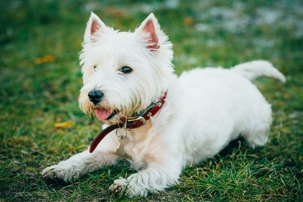 West Highland White Terrier laying down in grass