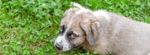 Puppy laying outside in the grass