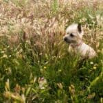 How Much Do Cairn Terriers Cost? Actual Breeder Prices