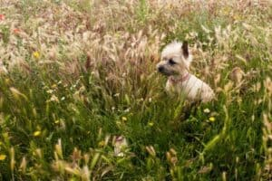 Cairn Terrier in tall grass