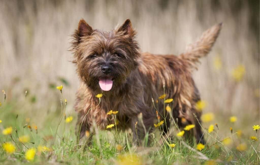 Cairn Terrier standing in tall grass