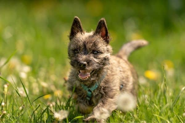 Adult Cairn Terrier running through grass