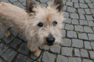 Tan colored Cairn Terrier