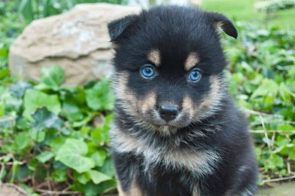Black and brown Pomsky puppy
