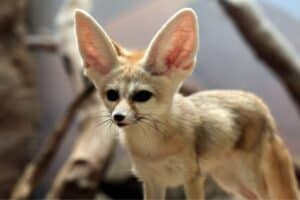 Fennec Fox with blurred background