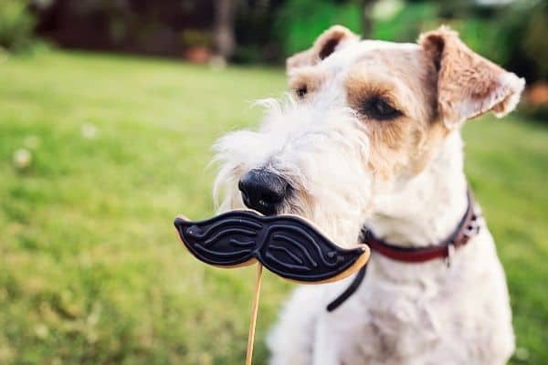 Fox Terrier with a mustache cookie