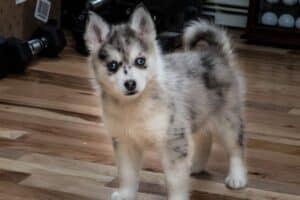2-month old Pomsky puppy