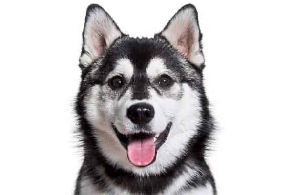 Pomsky dog smiling
