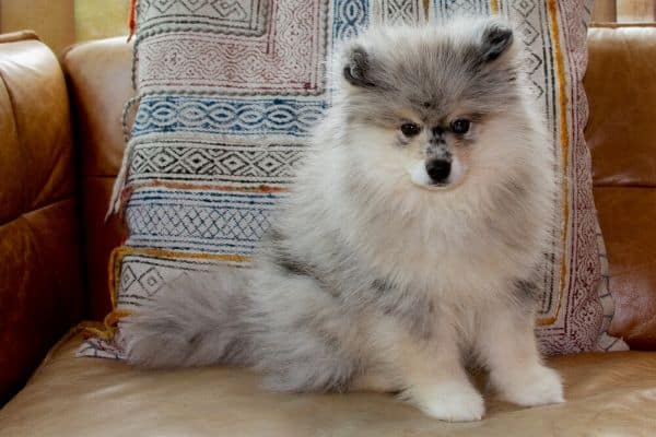 A Pomsky puppy sitting on a leather couch