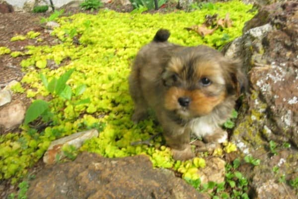 Shorkie Puppy Outside in grass