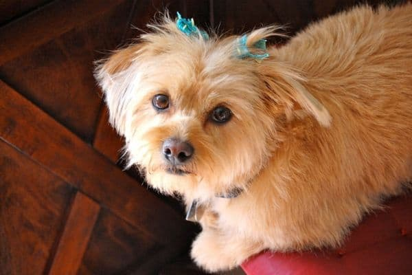 Shorkie dog with blue bows in hair