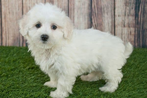 White Maltipoo puppy on fake grass
