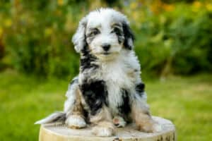 Aussiedoodle puppy sitting on a log