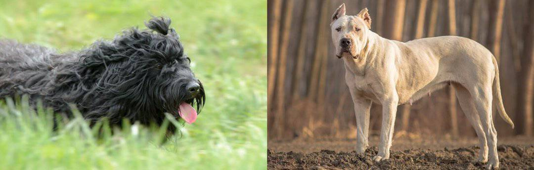 Barbet and Dogo Argentino side by side
