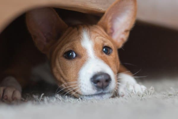 Basenji hiding under the couch