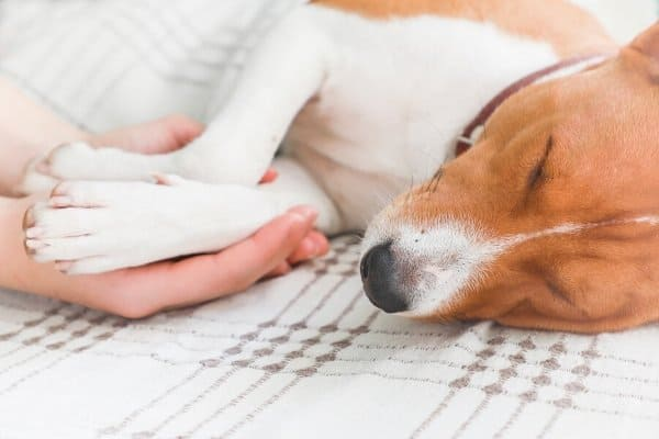 A Basenji puppy sleeping on a bed