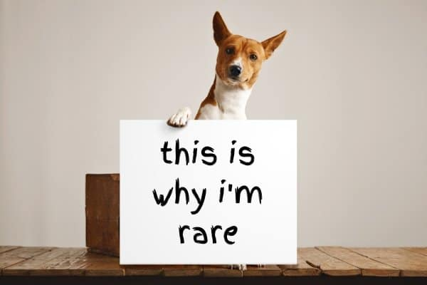 Basenji holding a this is why I'm rare sign