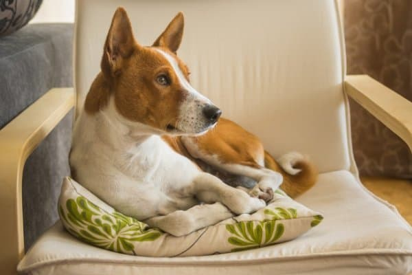 Basenji Sitting on Chair