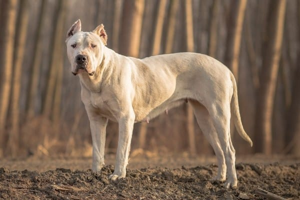 A Dogo Argentino standing near a tree line