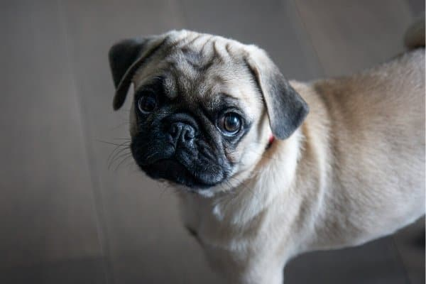 Fawn Pug looking at the camera