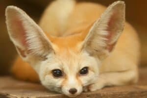 Fennec Fox with head laying down