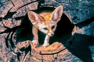 Fennec Fox in Tree