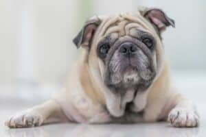 Old Pug dog Laying Down
