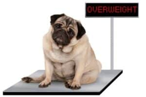 Overweight Pug sitting on a scale