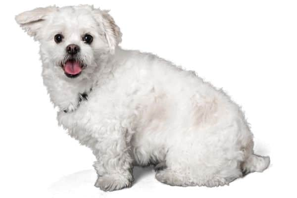 White Peekapoo dog Smiling