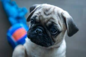 Pug Puppy with a toy in the background